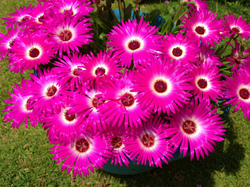 livingstone daisy.jpg